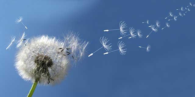 Allergene aus der Luft. Bild: Pusteblume deren Samen gerade im Wind verteilt werden.