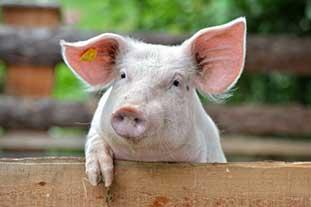 Hygienehypothese bzw. Bauernhofhypothese Bild: Ein Schwein schaut über einen Zaun.