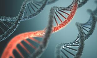 Eine künstlerische Grafik von drei DNS-Strängen nebeneinander. Bei dem mittleren DNS-Doppelstrang ist ein Strang rot hervorgehoben