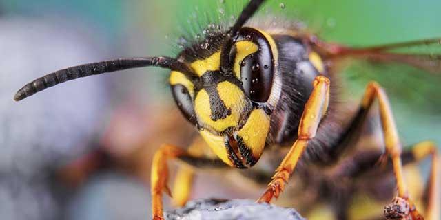 Großaufnahme einer Wespe von vorne