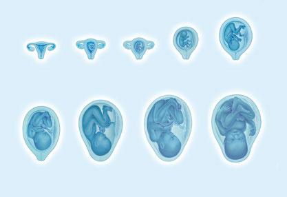 Grafik zeigt 9 Stadien der Embryonalentwicklung in der Schwangerschaft