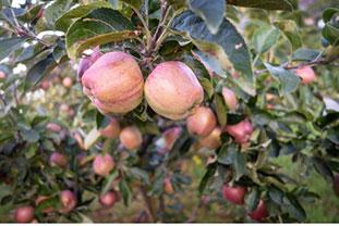 Renette-Äpfel am Baum