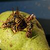 Wespen versammeln sich auf einer Birne