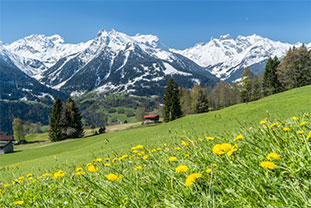 Butterblumen auf Bergwiese vor vereinzelten Tannen und schneebedeckten Gipfeln
