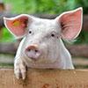 Ein Schwein schaut über eine Holzwand