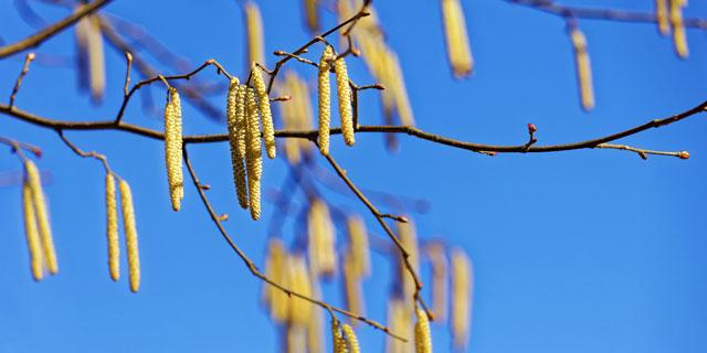 Pollenflug: Zweige mit Blütenstände der Birke - diese tragen die Pollen