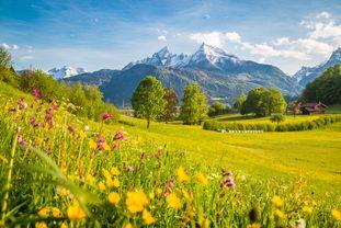 Blühende Bergwiese, im Hintergrund schneebedeckte Bergwipfel