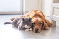 Eine graue Katze mit weißer Zeichnung an Mund, Pfoten und Brust und ein brauner Labradormischling liegen nebeneinander auf dem Fußboden und blicken seitlich aus dem Bild heraus