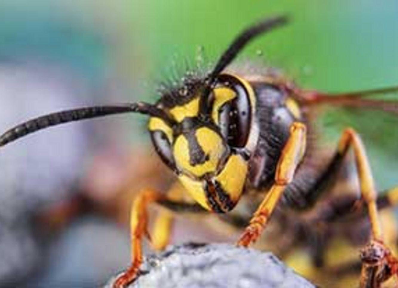 Insektengiftallergien -